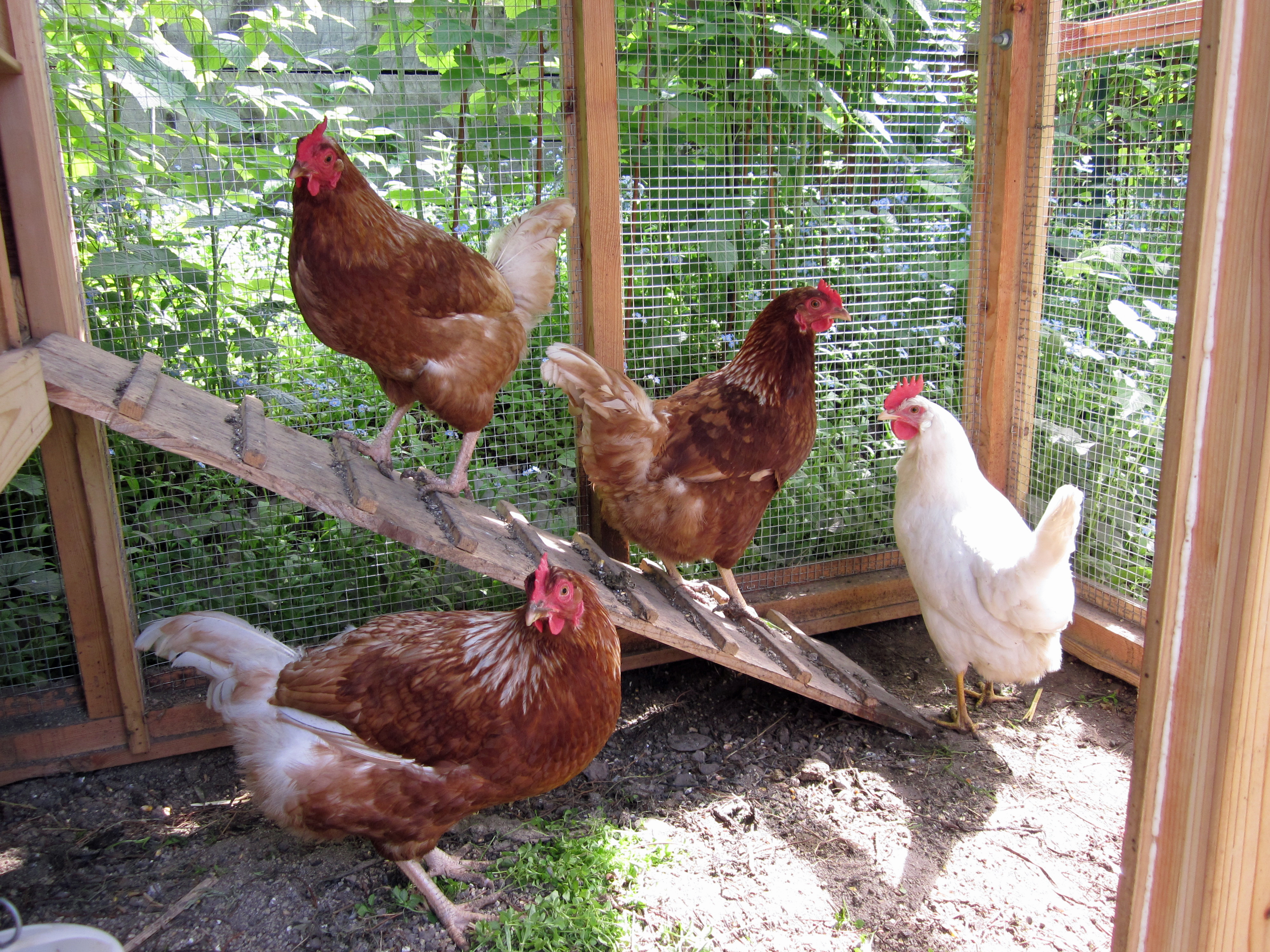 Backyard Chicken Keeping Gains Momentum In Anchorage