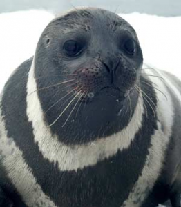 Ribbon seal. Photo: Mike Cameron, NOAA's National Marine Mammal Laboratory