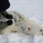 Polar bear with skin loss on neck and shoulder found during 2012 survey of Beaufort Sea. Photo from US Geological Survey.