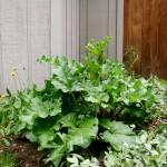 """Wild rhubarb""- because I didn't plant it."