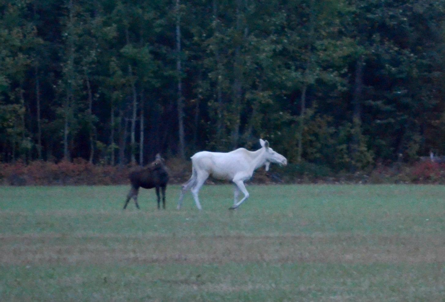 White Moose Generates Internet Buzz