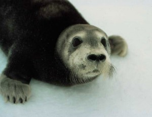 Bearded Seal pup (Erignathus barbatus) Photo: NOAA
