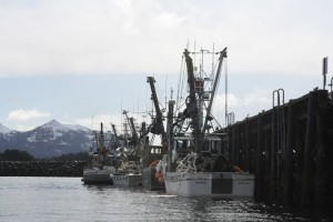 Seine boats await an opening at Crescent Harbor, prior to the 2012 Sitka Sound sac roe herring fishery. (KCAW photo/Ed Ronco)