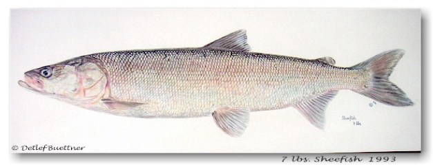 cutterlight sheefish 3