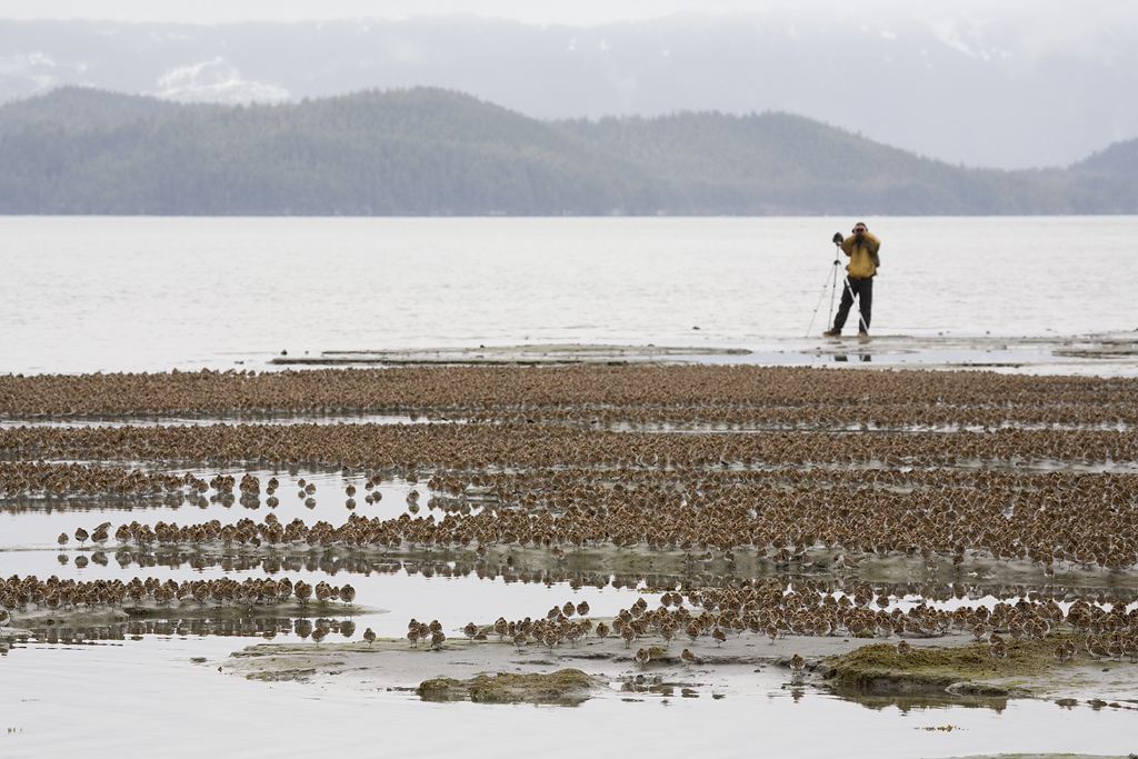 Birdwatcher and large flock of western sandpipers and dunlins. Photo by Milo Burcham. www.milosphotos.com