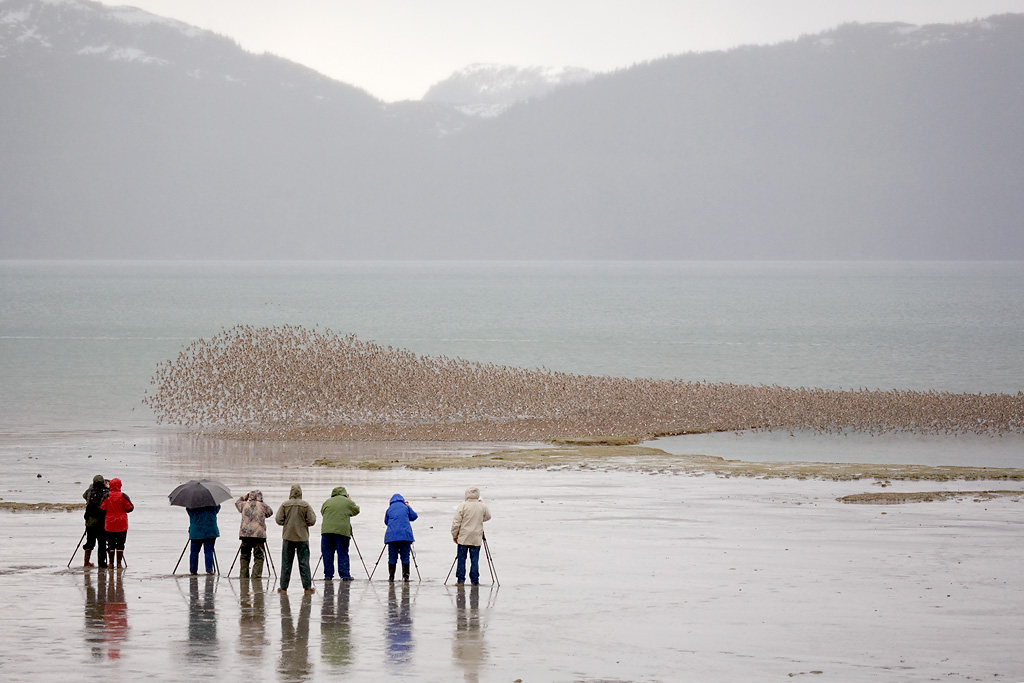 Photographers and shorebird flock