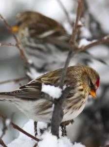 Bosom Buddies - Common Redpolls