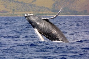 Humpback Whale: Endangered (Photo courtesy NOAA)