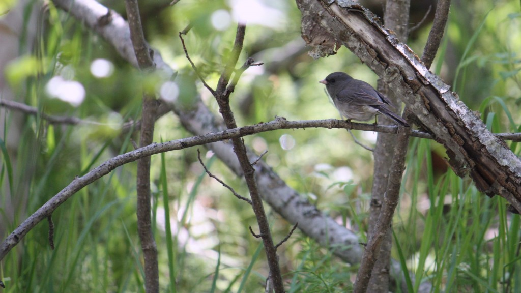 Zac Clark Birding 101 Junco
