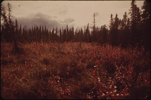 Bog Cranberries (High Bush Variety) Turn Bright Red in Autumn.  (National Archives, 1973.)