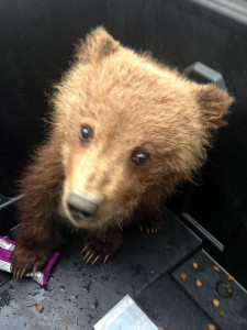 This 9 pound brown bear cub was found near Platinum early this month.