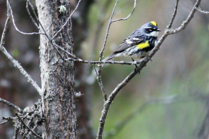"A yellow rumped warbler we spotted during our ""Big Day"" in Seward."