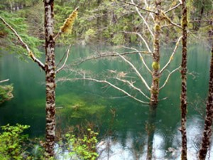 The 'new' lake being formed in Redoubt Creek. Note the submerged trees. (USFS Photo)