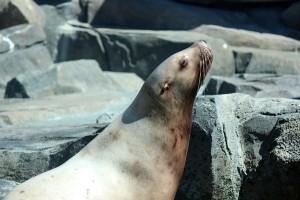 sitka sea lion