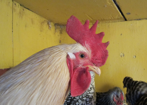 Our former resident rooster, Roo Paul.