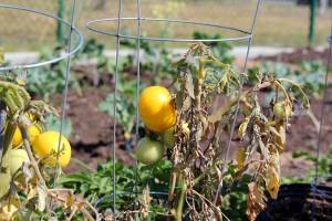 tomatoes gardens bragaw