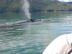 entangled-whale--300x225