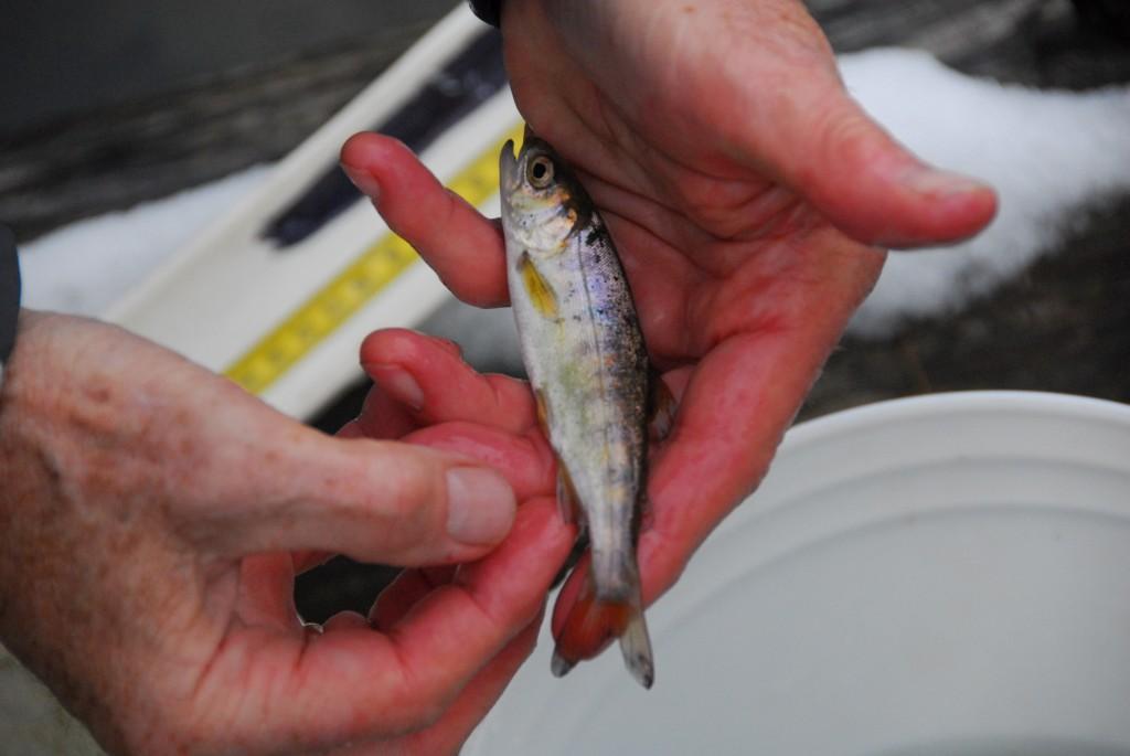 Juvenille Fish