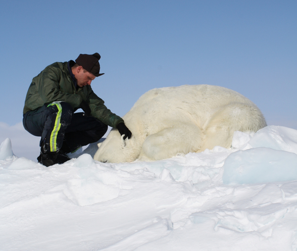 Dr. Eric Regehr monitors a polar bear during Chukchi Sea research in 2013. This is one of 68 bears that the U.S. Fish and Wildlife Service sedated, studied, and released as part of the ongoing project. Photo courtesy of the U.S. Fish and Wildlife Service.