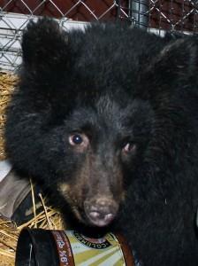 Smokey is currently the habitat's only black bear. Photo by Rachel Waldholz, KCAW - Sitka.
