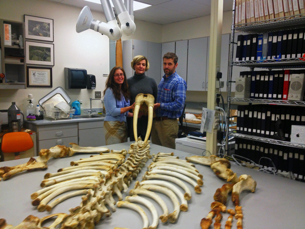 Nicole Misarti, Lara Horstmann and Link Olsen will study this and other walrus specimens housed at UAF's Museum of the North over the next four years. Photo by Emily Schwing, KUAC - Fairbanks.