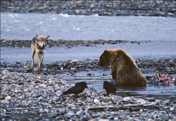 A wolf assesses the odds of stealing scavenged food from a brown bear, while two ravens feast on bits of food at the edges. Photo by Gordon Haber.