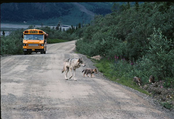 Toklat mother and three two-month-old pups ignore the photographer and a park bus full of visitors while traveling the Denali National Park road. June 1990. Photo by Gordon Haber,