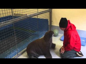 From Barrow To The Big Cities: The Story Behind Two Orphan Walruses