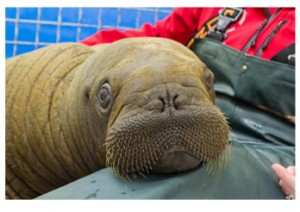Scientists Hope To Use Walrus Calves To Shed Light On Mysterious Illness