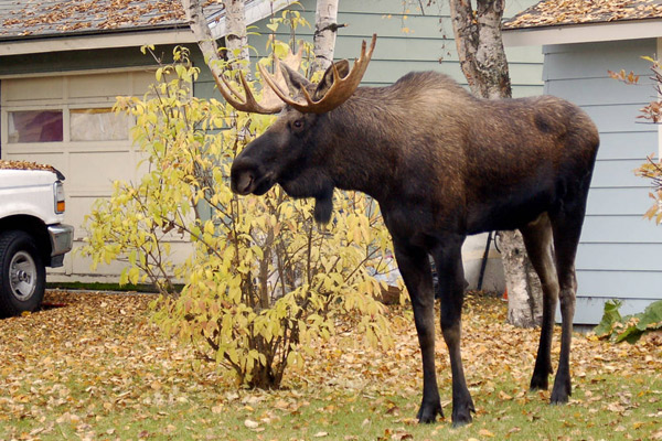 Bull moose near car and house, courtesy of US Fish and Wildlife Service, Alaska