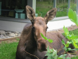 Moose Research Indicates Cow Choices Could Boost Calf Survival