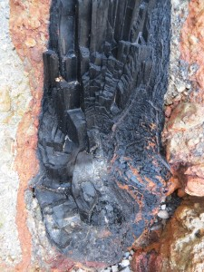 More details of the charcoal tree. Photo courtesy of Kitty LaBounty.