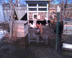 Backyard Chicken Blogging