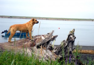 Yakutat Dog Survives Fall, 24 Hours In Well