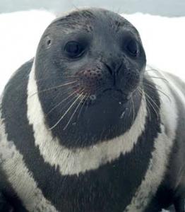 Bird Flu Not Responsible For Alaska Ice Seal, Walrus Illness