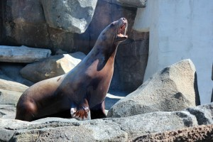 Steller Sea Lion To Give Birth to New Pup