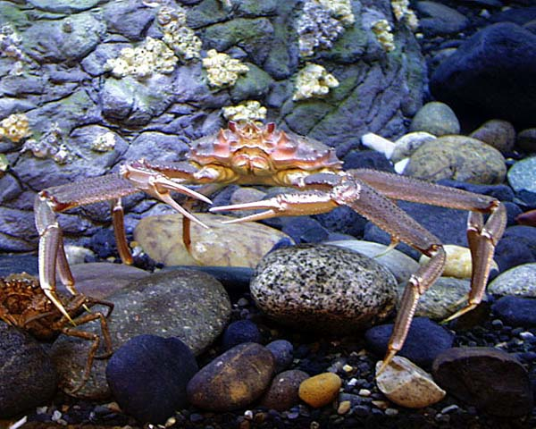 Tanner crab fishery closed for 2014 season alaska public for Crab fishing game