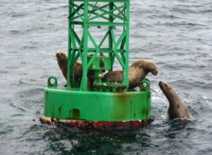Sea lions touch noses as one clambers onto a buoy in Sitka Sound. Photo by  Ed Schoenfeld, CoastAlaska - Juneau.