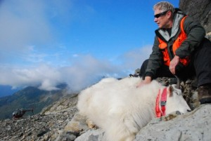 Phil Mooney tracks mountain goats' movements using orange GPS collars. Photo courtesy of Phil Mooney.