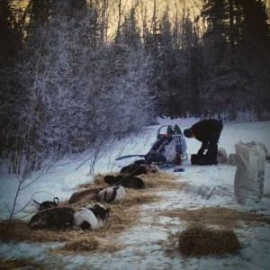 Allen Moore cars for his dogs in Eagle's dog yard. Photo by Emily Schwing, KUAC - Fairbanks.