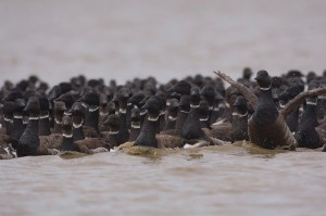 Black brant geese molt on the North Slope's Teshekpuk Lake. Photo by Tyler Lewis, USGS.