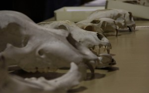 From A to Z: Archaeologists, Zooarchaeology, and the Tales Bones Tell