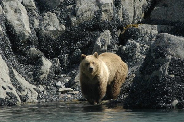 Where glacial ice has most recently retreated, Glacier Bay's bears rely on the intertidal area for food. Photo by Tania Lewis.