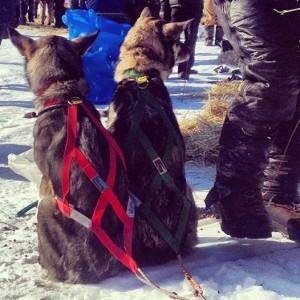 Jeff King's wheel dogs take a break in Koyuk.Photo by Emily Schwing, KUAC - Fairbanks.