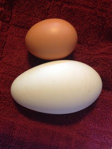 A chicken and goose egg (for size comparison).