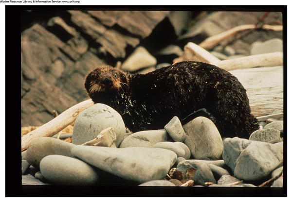 An otter covered with oil from the Exxon Valdez oil spill – ACE6 (Photo by ARLIS Reference)