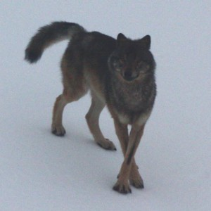 Fish And Wildlife To Review Southeast Alaska Wolves