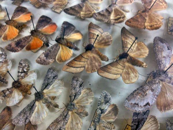 This collection of Lepidoptera will be catalogued at the Museum of the North before most of it gets transferred to the Smithsonian. (Photo by Emily Schwing, KUAC - Fairbanks)