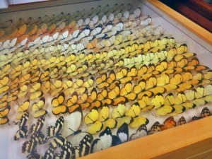 Butterflies from all over the world are part of Kenelm Philip's collection. (Photo by Emily Schwing, KUAC - Fairbanks)