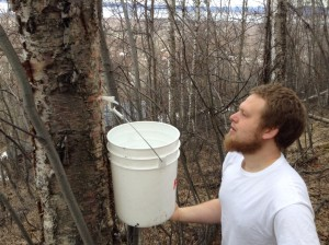 Erik Johnson tapping one of his birch trees.